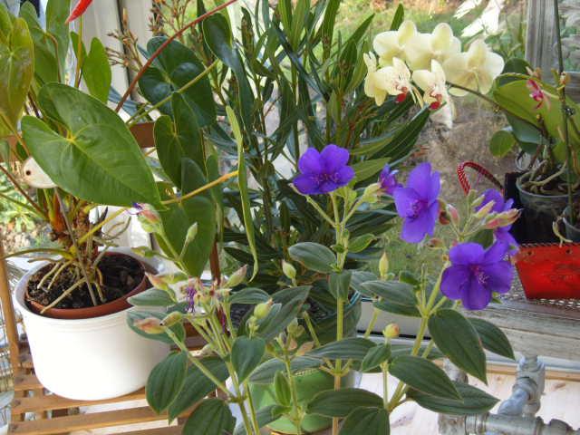 tibouchina  Plante15