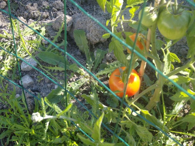 Des nouvelles du potager Tomate11
