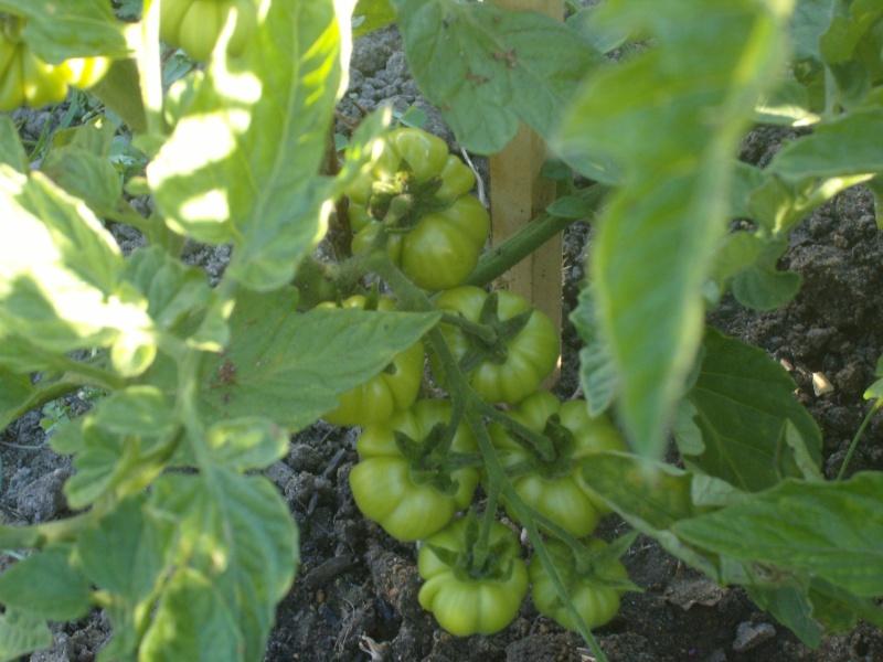 Des nouvelles du potager Tomate13