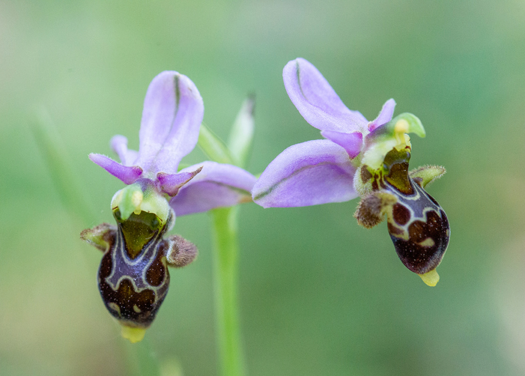 Ophrys picta ? (Encore) Pictab10