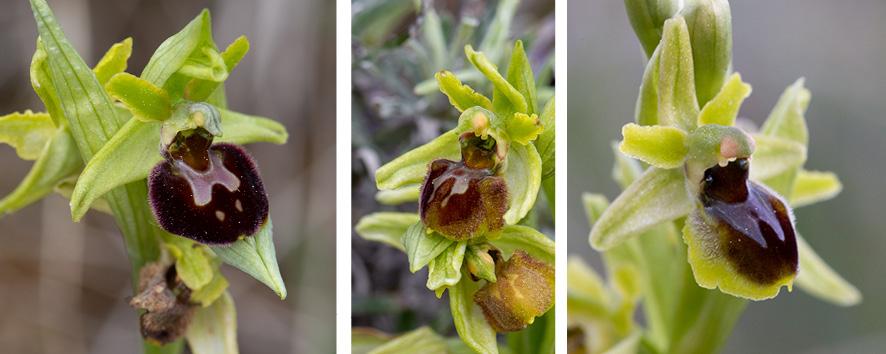 Ophrys araneola x sphegodes (x jeanpertii) X_jean10