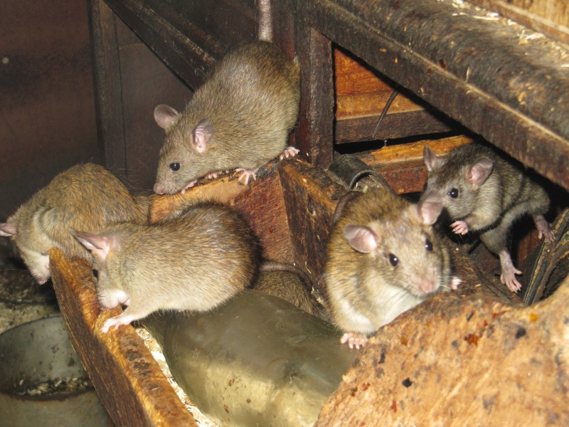 Rats sauvages Img_0613