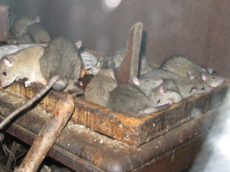 Rats sauvages Img_0614