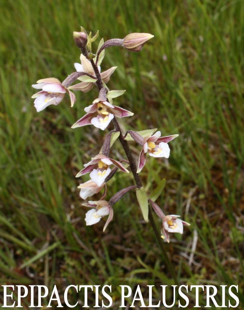 Photos orchidacées Epipac10