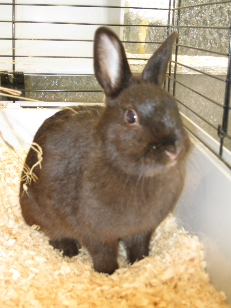 Loon ex Surprise , jolie  petite lapine noire ! ( Reservee ! ) Blacki11