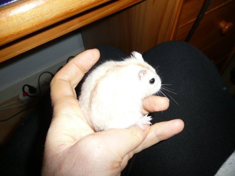 Hamster russe femelle SACHA ( Adoptee )  P1000712