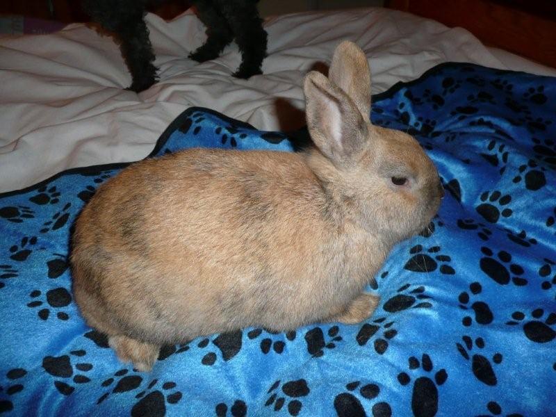 Caramelle , lapine femelle née en mars 2011 ( Adoptee ) P1000715