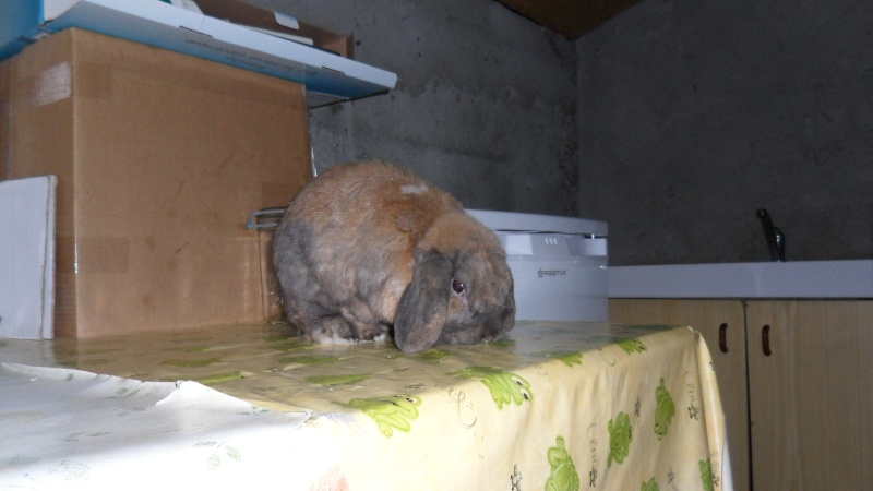 HOUBLON, lapin mâle ( Adopte ! ) Sam_1410