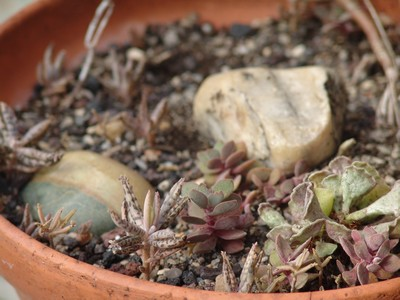 tubiflora - Bryophyllum delagoensis = Kalanchoe delagoensis = K. tubiflora et hybrides  Dsc-0012