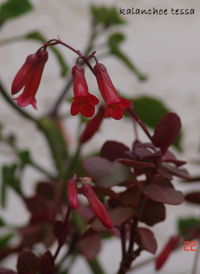 Bryophyllum 'Tessa' (= Kalanchoe 'Tessa') Dsc00033