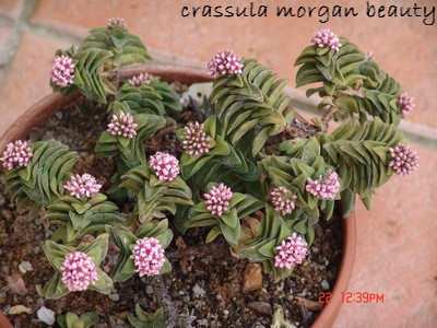 Crassula 'Morgan's Beauty' Dsc00034