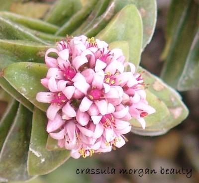 Crassula 'Morgan's Beauty' Dsc00035