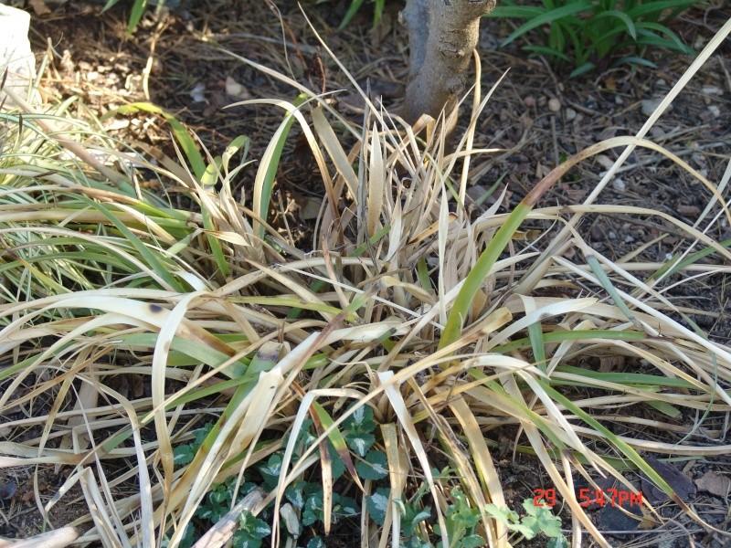 Billbergia nutans Dsc00038