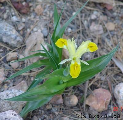 Iris bucharica Dsc00043