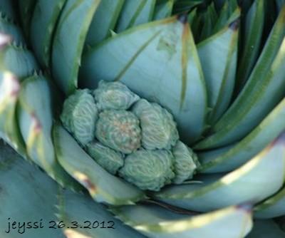 Aloe polyphylla Dsc00048