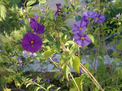 Solanum rantonnetii Dsc00111