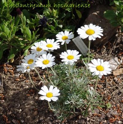 Petites vivaces tapissantes et coussinantes pour rocaille - Page 2 Dsc00112