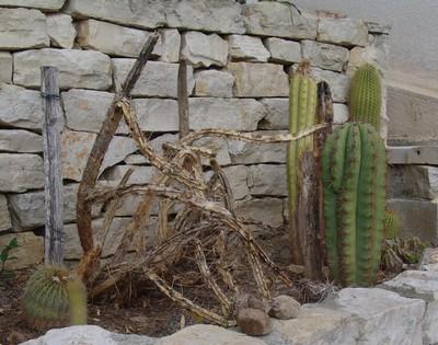 rusticité des cactus et succulentes en extérieur - listes Dsc00116