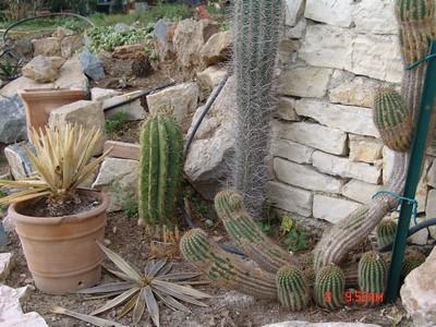 rusticité des cactus et succulentes en extérieur - listes Dsc00117