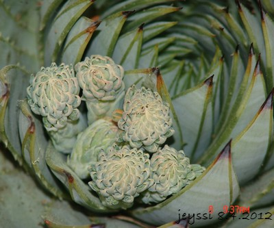 Aloe polyphylla Dsc00128