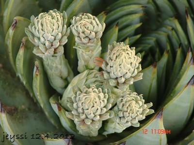 Aloe polyphylla Dsc00129