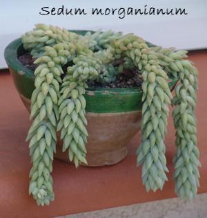 Sedum burrito & Sedum morganianum - comparaison Dsc00212