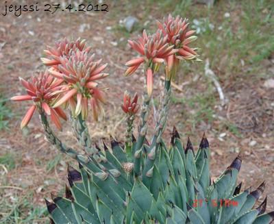 Aloe polyphylla Dsc00217