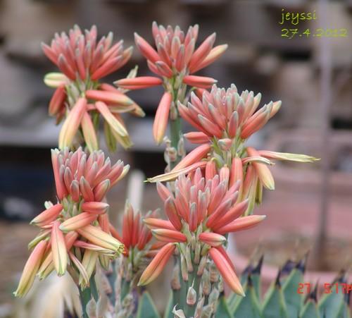 Aloe polyphylla Dsc00218