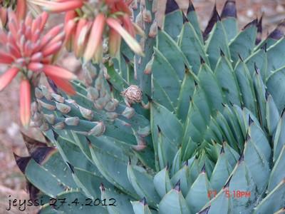 Aloe polyphylla Dsc00219