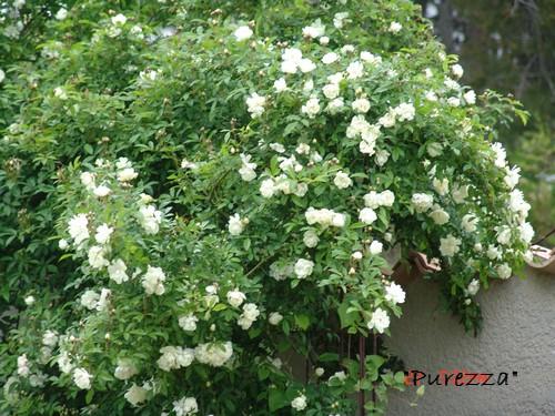 *rosa* - rosier 'Purezza' = Rosa banksiae 'Purezza' Dsc00220