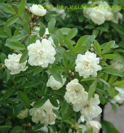 *rosa* - rosier 'Purezza' = Rosa banksiae 'Purezza' Dsc00221