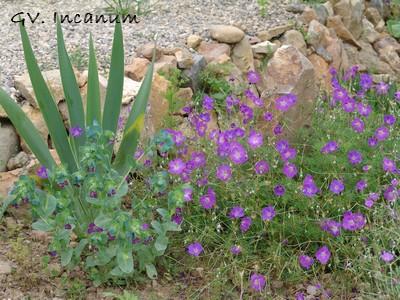 Geranium incanum Dsc00310