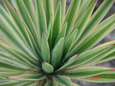 Yucca sp. [identification non terminée] Dsc00314