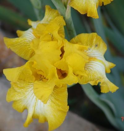 Iris 'Light Beam' - Lesley Blyth 1985 Dsc00319