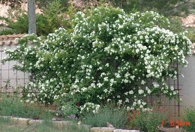 *rosa* - rosier 'Purezza' = Rosa banksiae 'Purezza' Dsc00336