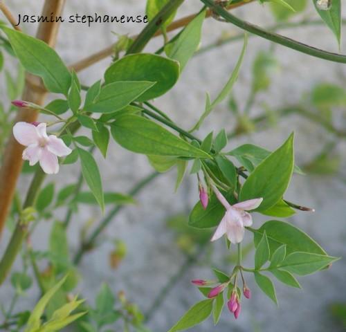 Jasminum x stephanense Dsc00428