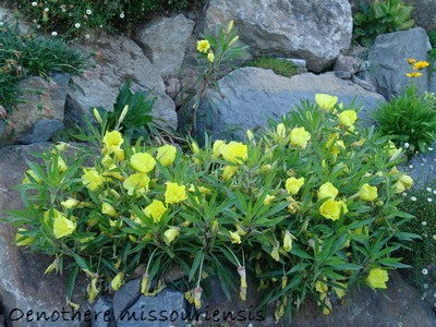 Petites vivaces tapissantes et coussinantes pour rocaille - Page 2 Dsc00512