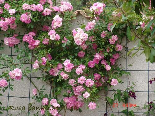banksiae - rosier 'Rosea' = banksiae 'Rosea' Dsc00522