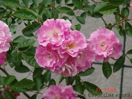banksiae - rosier 'Rosea' = banksiae 'Rosea' Dsc00523