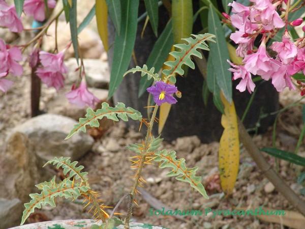 Solanum rantonnetii Dsc00632
