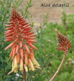 Aloe x delaetii Dsc00638