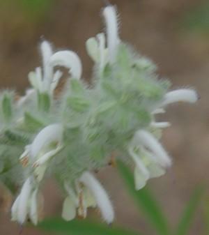Salvia dominica Dsc00644