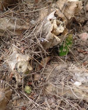 rusticité des cactus et succulentes en extérieur - listes - Page 2 Dsc00648