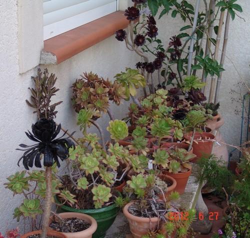 Aeonium arboreum 'Zwartkop' Dsc00656