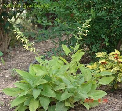 Salvia glutinosa - sauge glutineuse Dsc00657
