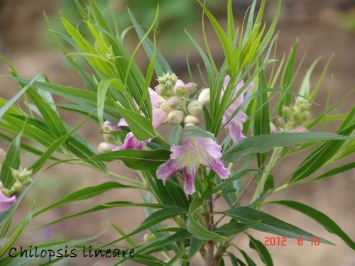 Chilopsis linearis - chilopsis à feuilles linéaires Dsc00659