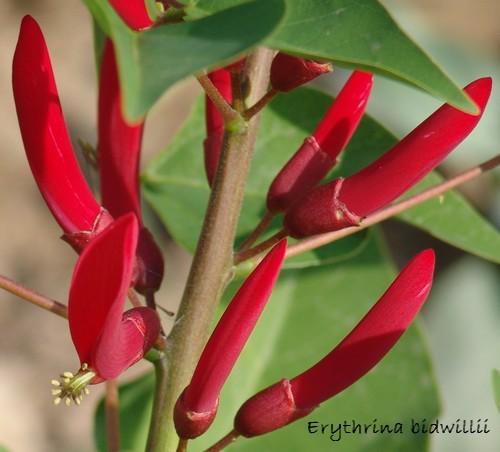 Erythrina x bidwillii Dsc00821