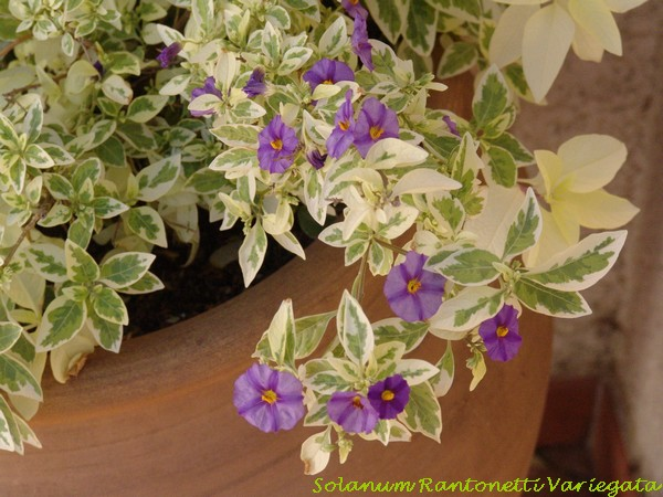 Solanum rantonnetii Dsc00962