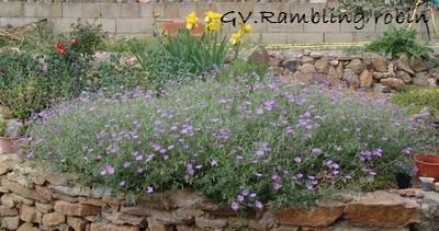 Geranium 'Rambling Robin'  Dsc01101
