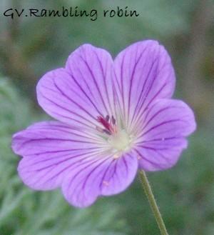 Geranium 'Rambling Robin'  Dsc01241